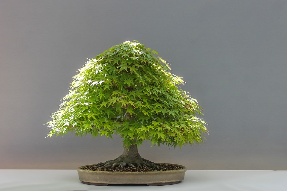 bonsai-drvo-1