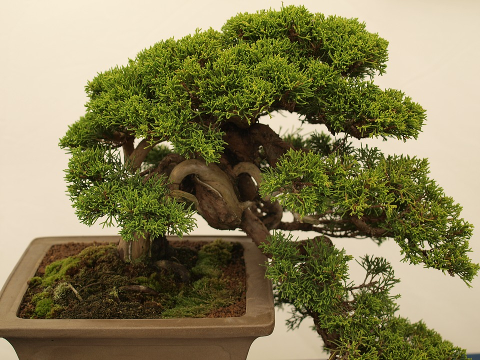 bonsai-drvo-2